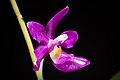 Phalaenopsis pulchra 'Oscar' (Rchb.f.) H.R.Sweet, Amer. Orchid Soc. Bull. 37- 1102 (1968) (36399516450).jpg