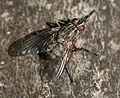 Phaonia sp. (female) - Flickr - S. Rae.jpg