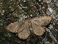 Philereme vetulata - Brown scallop - Пяденица крушинная (27086378558).jpg