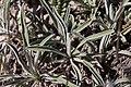 Phlomis lychnitis-Phlomis lychnite-Feuilles-20160520.jpg
