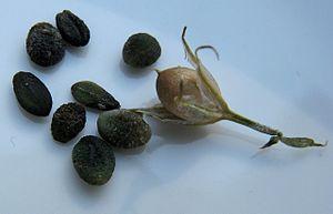 Phlox - Fruit and seeds of P. paniculata