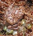 Phrynopus curator (MUSM 31106) - ZooKeys-235-051-g010A.jpg