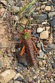 Phymateus leprosus ssp. leprosus (Pyrgomorphidae) – male (36890033433).jpg