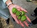 Physalis peruviana 燈籠果 - panoramio.jpg