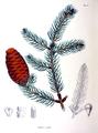 Picea polita SZ111.png