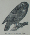 Picture Natural History - No 130 - The Hawk Owl.png