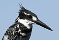 Pied Kingfisher, Ceryle rudis at Pilanesberg National Park, South Africa (15805233697).jpg