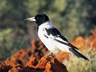 Pied butcherbird - Subsp picatus at Slate Range (Gibson Desert)