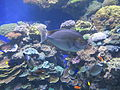 PikiWiki Israel 29399 Fish in eilat underwater observatory.JPG