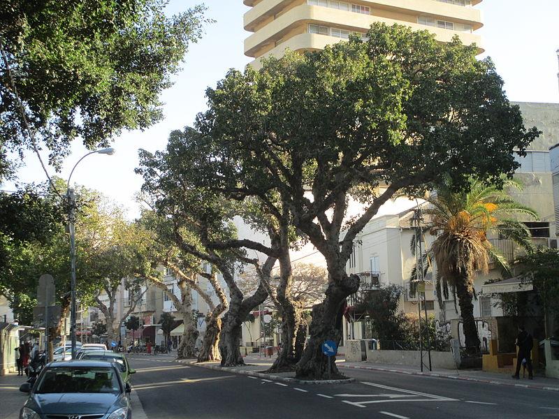השקמים ברחוב המלך ג'ורג' בתל אביב