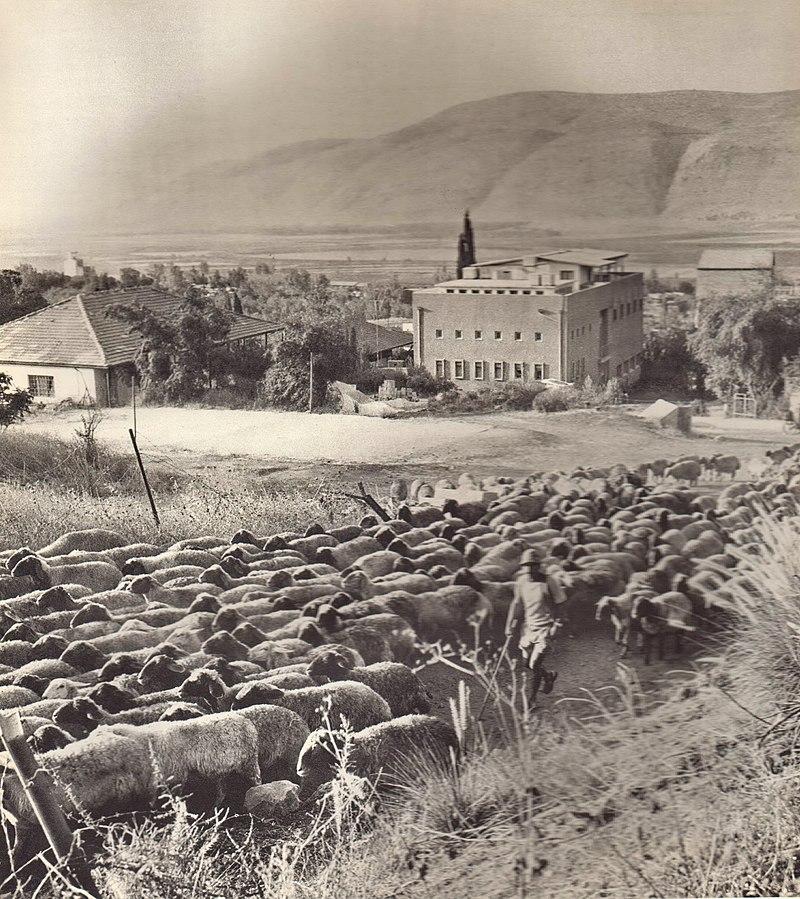 הכבשים של קיבוץ תל יוסף