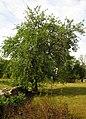 Pilguse metsõunapuu Saaremaal.jpg