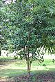 Pimenta racemosa 5351.JPG