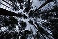 Pine Plantation (16143021008).jpg