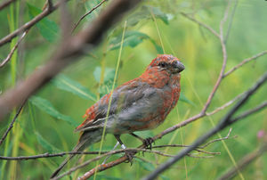 Christmas tree pests and weeds - A young pine grosbeak. The bird is regarded as a pest by Christmas tree growers.