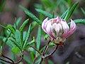 Pink Azalea (34011587262).jpg