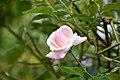 Pink Rose Flower1.jpg