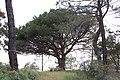 Pino Solitario - panoramio.jpg