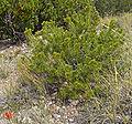 Pinus edulis Snowpeak2.jpg