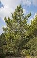 Pinus nigra, Saint-Rémy-de-Provence cf01.jpg
