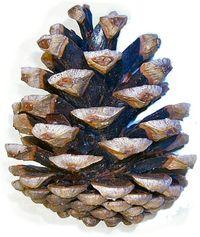 pinha da esp�cie Pinus nigra