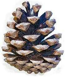 Pinus nigra cone.jpg