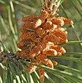 Pinus pinea conos.jpg