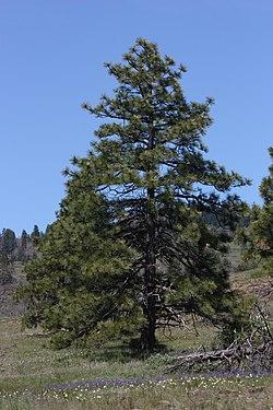 Pinus ponderosa 7979.JPG