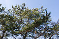Pinus thunbergii 04.jpg