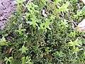 Plagiomnium undulatum 122064667.jpg