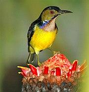 Plain-throated Sunbirdfairly common in Peninsular
