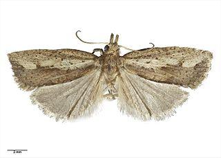 <i>Planotortrix notophaea</i> Species of moth