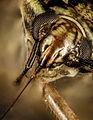 Plant bug, dod, pomonkey 2015-05-24-19.05.37 ZS PMax (18086359811).jpg