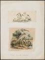 Platalea leucorodia - 1700-1880 - Print - Iconographia Zoologica - Special Collections University of Amsterdam - UBA01 IZ17600077.tif
