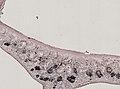 Pleioplana atomata (YPM IZ 073814) 13.jpeg