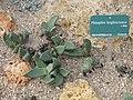 Pleiospilos longibracteus (Jardin des Plantes de Paris).jpg