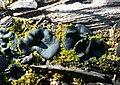 Plicaria carbonaria Fuckel 955952.jpg