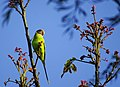 Plum Headed Parakeet - Mugilu Homestay.jpg