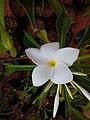 Plumeria white flower.jpg