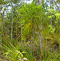Podocarpaceae (Dacrydium beccarii) (15581505850).jpg