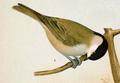 Poecile palustris Naumann.png