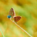 Polyommatus icarus love.jpg