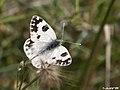 Pontia daplidice (5445775999).jpg