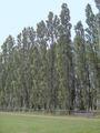Populus nigra.Italica.01.jpg