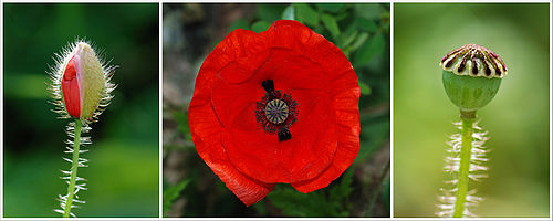 Poster Papaver 2a.jpg