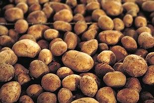 Kartoffelknolde af den kendte, lyse type.