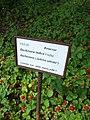 Praha, Trója, Botanická zahrada, Indické jahody.jpg