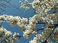 Praha, Troja, Botanická zahrada, Japonská zahrada, sakura.JPG
