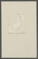 Prionoderma spec. - - Print - Iconographia Zoologica - Special Collections University of Amsterdam - UBAINV0274 105 18 0016.tif