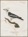 Prionops plumatus - 1796-1808 - Print - Iconographia Zoologica - Special Collections University of Amsterdam - UBA01 IZ16600455.tif